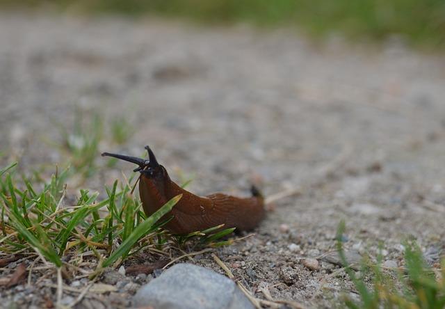 Dræbersnegle – bekæmpelse af dræbersnegle