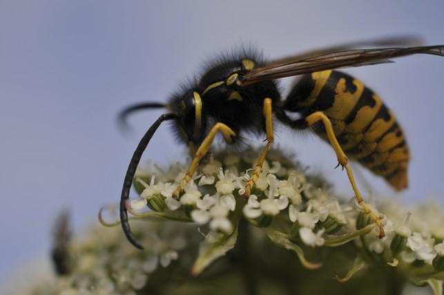 Hvepse, hvepsestik og hvepsebo
